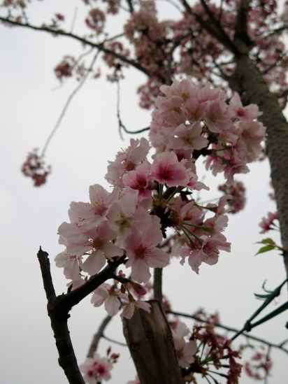 Cherry blossoms found outside Taoyuan HSR Station